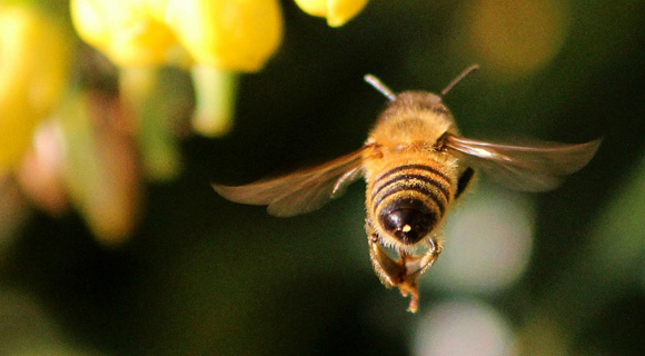 Apis mellifica (Apis) – čebela