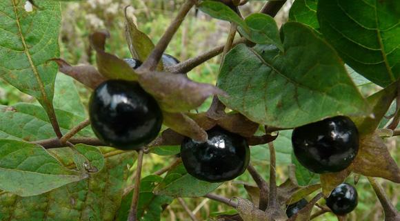 Belladonna (Bell.) – volčja češnja