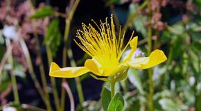 Hypericum perforatum (Hyper.) – šentjanževka