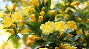 Gelsemium sempervirens (Gels.) – rumeni jasmin