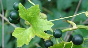 Bryonia alba (Bry.) – črnojagodasti bljuščec