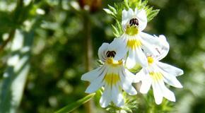 Euphrasia officinalis (Euphras.) – navadna smetlika