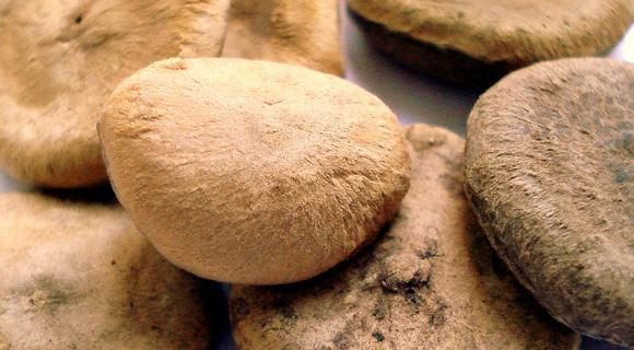 Nux vomica (Nux-v.) – bljuvalni orešček