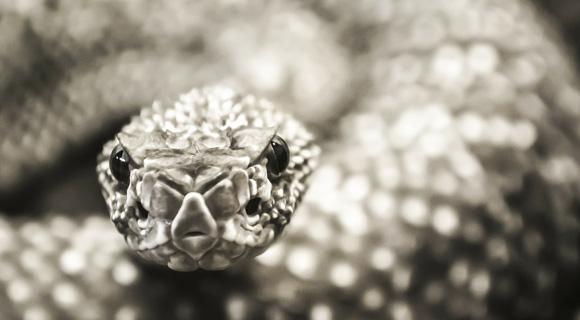 Lachesis muta (Lach) – strup južnoameriške kače grmovke